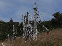 03 Drzewa Umierają Stojąc_Karkonosze_august 2008